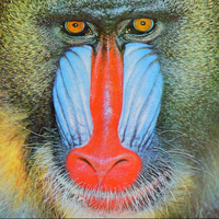 Standard test image of mandrill